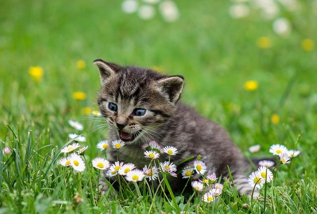 koťátko a sedmikrásky