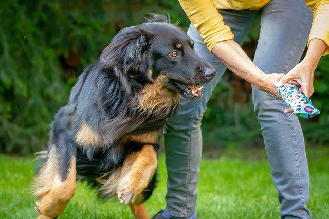 pes, hovawart, černohnědý, hračka, hraní